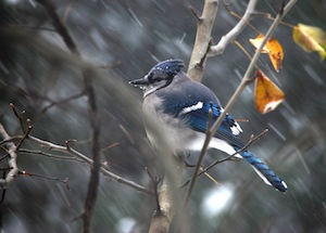 Blue Jay in Blizzard by bern161616